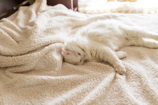 White cat is lying on the rug.