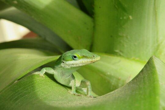 Green anole lizard on a leaf, closeup