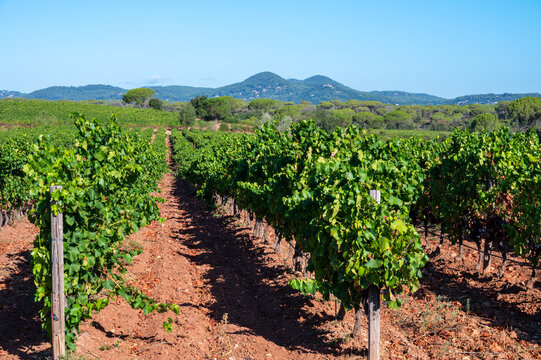 Rows of ripe syrah wine grapes plants on vineyards in Cotes  de Provence, region Provence, south of France