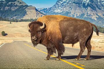 Amerikaanse bizon die alleen staat in het midden van de weg in het Yellowstone-park met berg in backgorund.