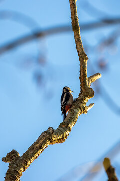 Great Spotted Woodpecker in natural habitat