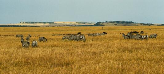Fototapeta Zébre de Grant, Equus burchelli grant, Parc national de Masai Mara, Kenya