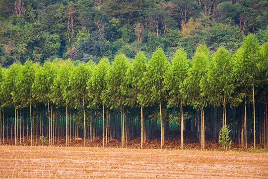 Row of Eucalyptus Trees in Farmland