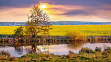 Spring landscape with a tree by the river and a yellow rapeseed field during sunset