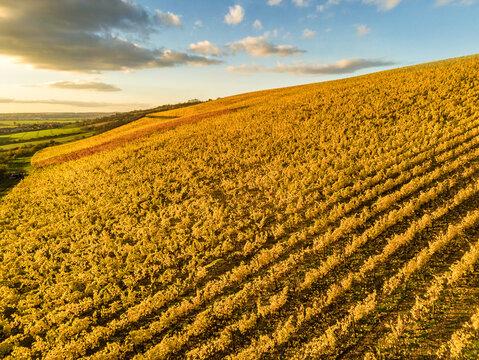 Strahlend gelb gefärbter Weinberg in der herbstlichen Abendsonne aus der Luft gesehen