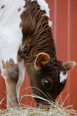 Wall Mural - Brown and white calf eating hay close up on farm, cute fuzzy baby cow fur.