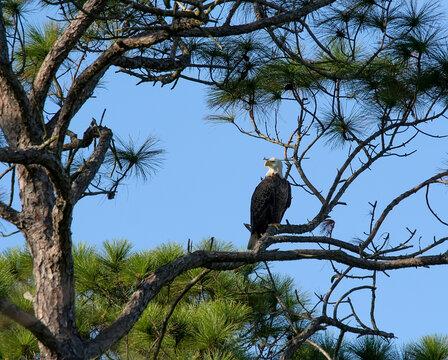 American Eagle Bird resing on Branch