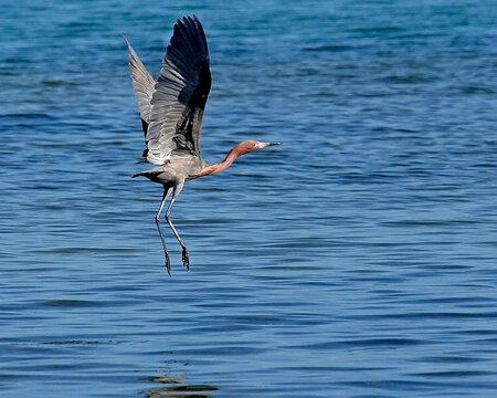 Tricolored Heron in Flight in Florida