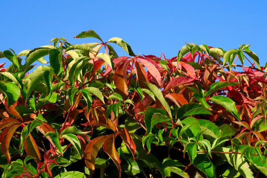 Wild vine leaf against clear sky