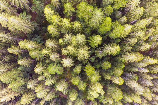 Drone view of green spruce trees (Picea abies) in Bavarian Forest