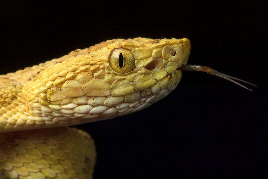 Osbornei´s Lancehead Snake