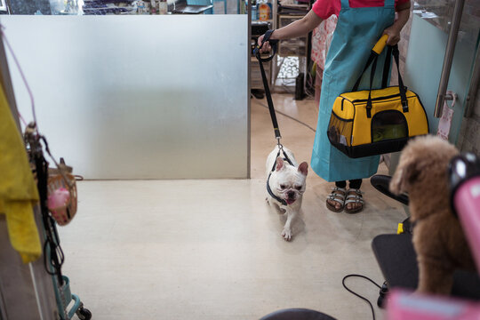 Unrecognizable woman with French Bulldog dog in veterinary clinic