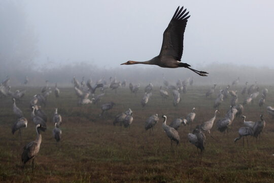 A cranes flies as others gather during the migration season on a foggy morning at Hula Nature Reserve, in northern Israel