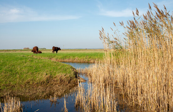 Brown cows grazing on grassland next to a stream ,with a clear blue sky above, at Fairfield in Kent, England.