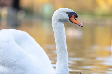 Closeup of a mute swan on a pond under the sunlight with a blurry background