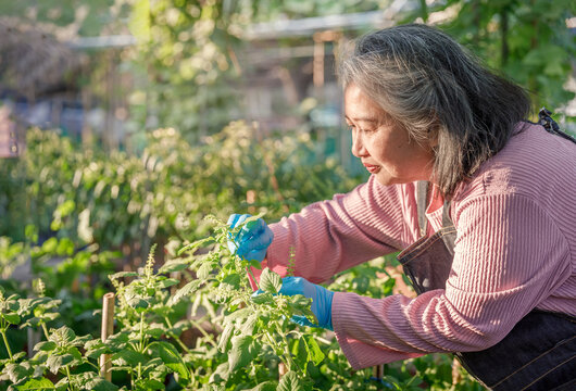Retirement Asia woman harvesting basil at backyard during the outbreak of COVID 19.An antidote to staying home is getting outdoors.