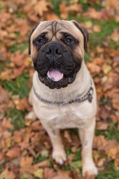 Bullmastiff dog happy face. Portrait. Sitting.