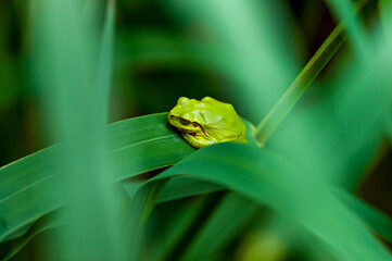 juvenile common tree frog (Hyla arborea) sitting on reed