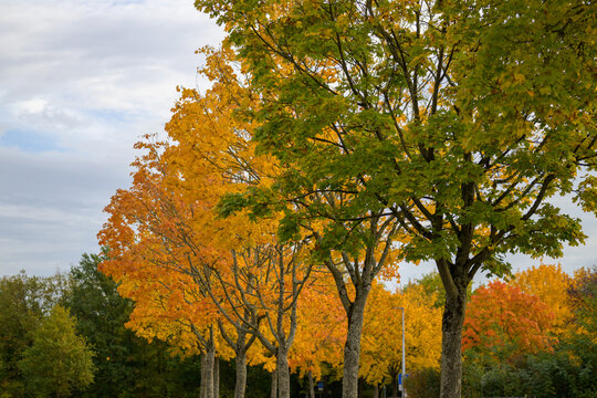 Row of colorful orange autumn trees in a park