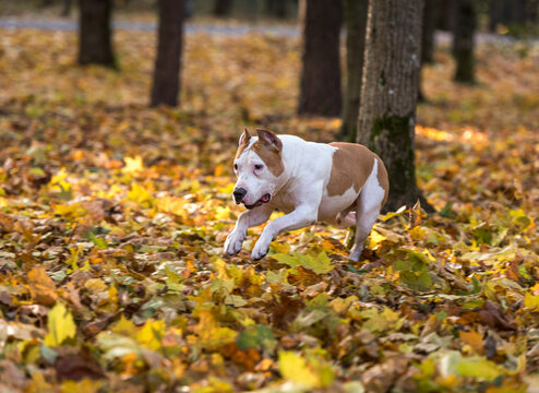 American Bulldog is Running on autumn Ground. Try To Catch a Ball.