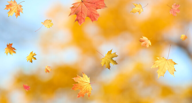 Autumn season. Beautiful leaves falling in park. Banner design