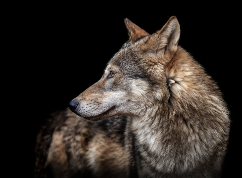 Close-up Of Wolf Looking Away Against Black Background