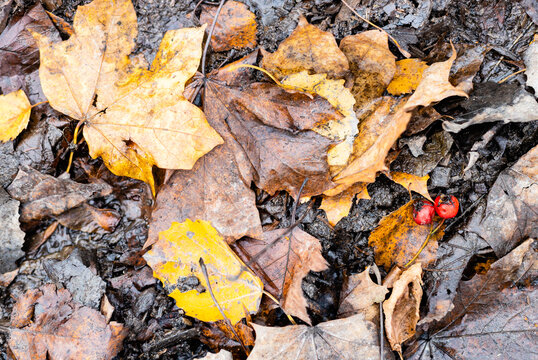top view of wet fallen leaves and ripe hawthorn berries on ground after autumn rain