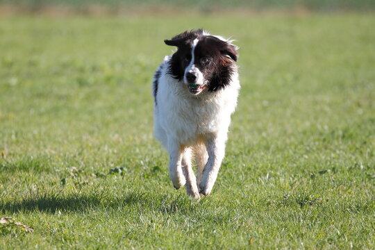 Big Landseer dog is very playful