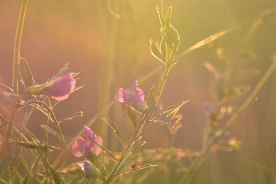 Wicke am Feldrand in der Abendsonne