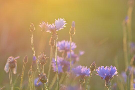 Kornblumen leuchten in der Abendsonne
