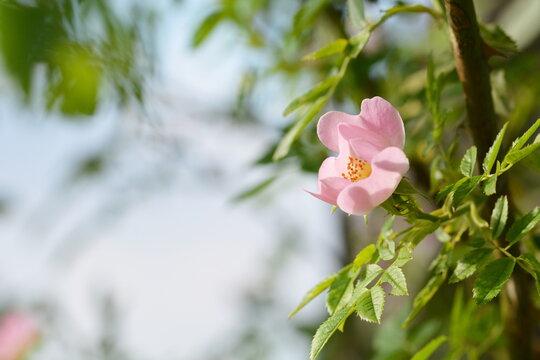 Blühende Wildrose im Frühsommer