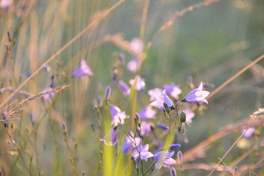 Glockenblumen am Feldrand in der Sonne