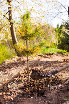 Young pine tree recently planted in small forest