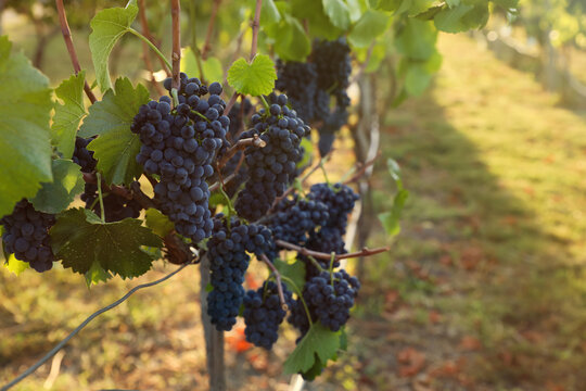 Delicious ripe grapes in vineyard. Harvest season