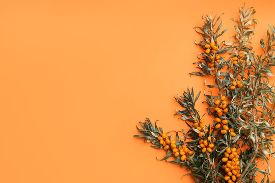 Branches of sea buckthorn on orange background, flat lay. Space for text