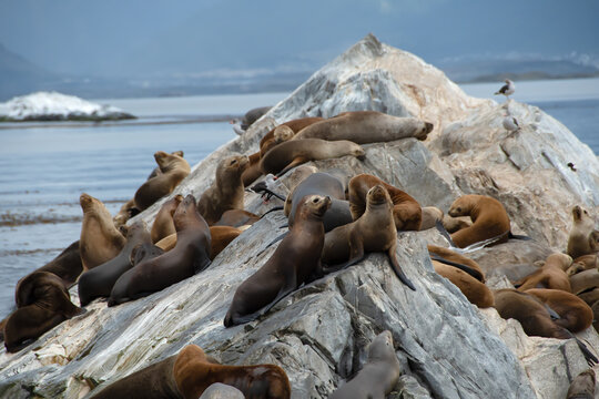 Sea Lions on a rock in Ushuaia, Argentina