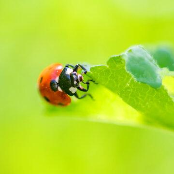 coccinelle - Ladybug