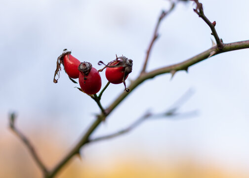 Three dried red rosehips in close up