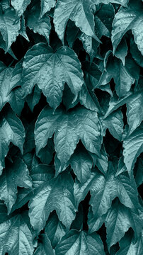 Bright Green ivy natural background. Ivy leaves on the wall. Vertical banner toned in trendy 2021 color