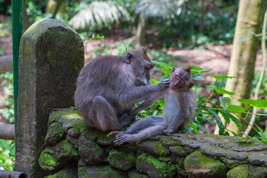 Monkey family at sacred monkey forest in Ubud, island Bali, Indonesia