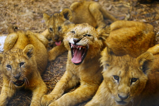 A newborn lion cub roars inside his cage after being born in captivity amid the coronavirus disease (COVID-19) pandemic at Altiplano's zoo in San Pablo Apetatitlan