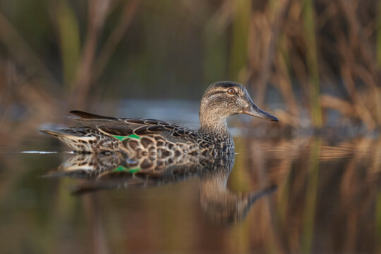 Green-winged Teal female hen