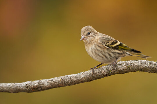 Pine Siskin with autumn colors
