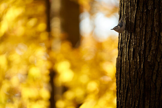 White-breasted Nuthatch on tree with golden background
