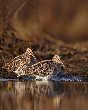 Wilson's Snipe shorebird pair in wetlands