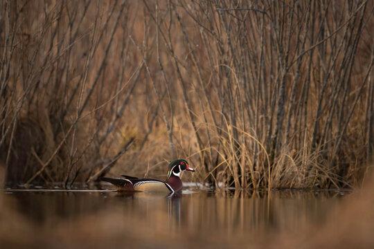 Wood Duck male drake swimming