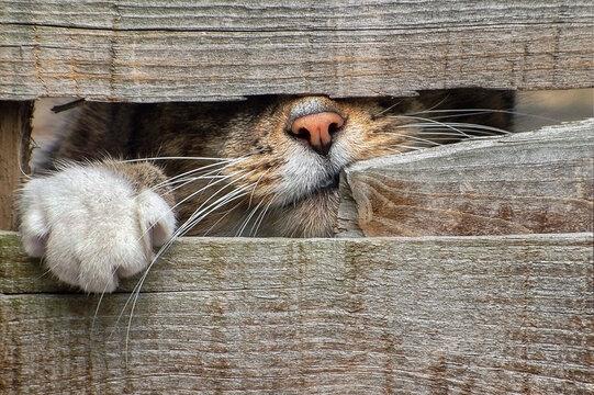 Close-up Lion Seen Through Wooden Wall