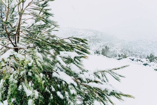 Tree branches covered with white snow one morning in a Mediterranean mountain.
