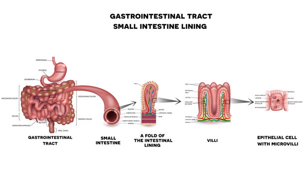 Gastrointestinal system, small intestine villi and epithelial cell with microvilli detailed illustration.