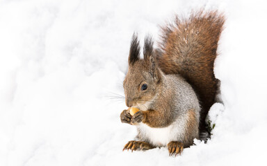red squirrel sitting on white snow in winter forest and eating nut